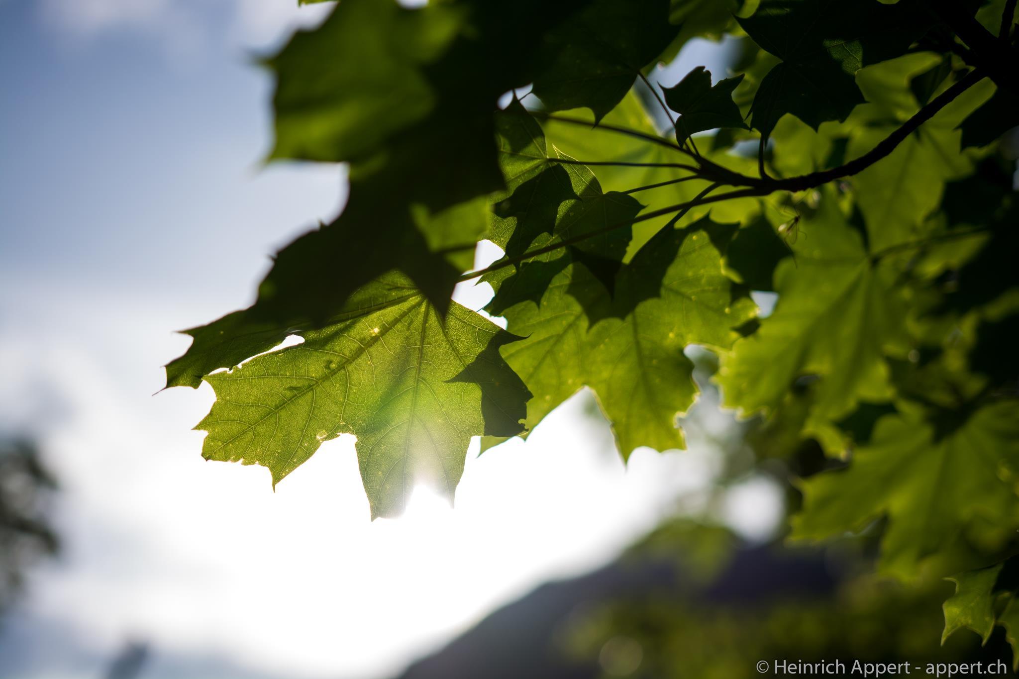 Ahorn im Sonnenlicht