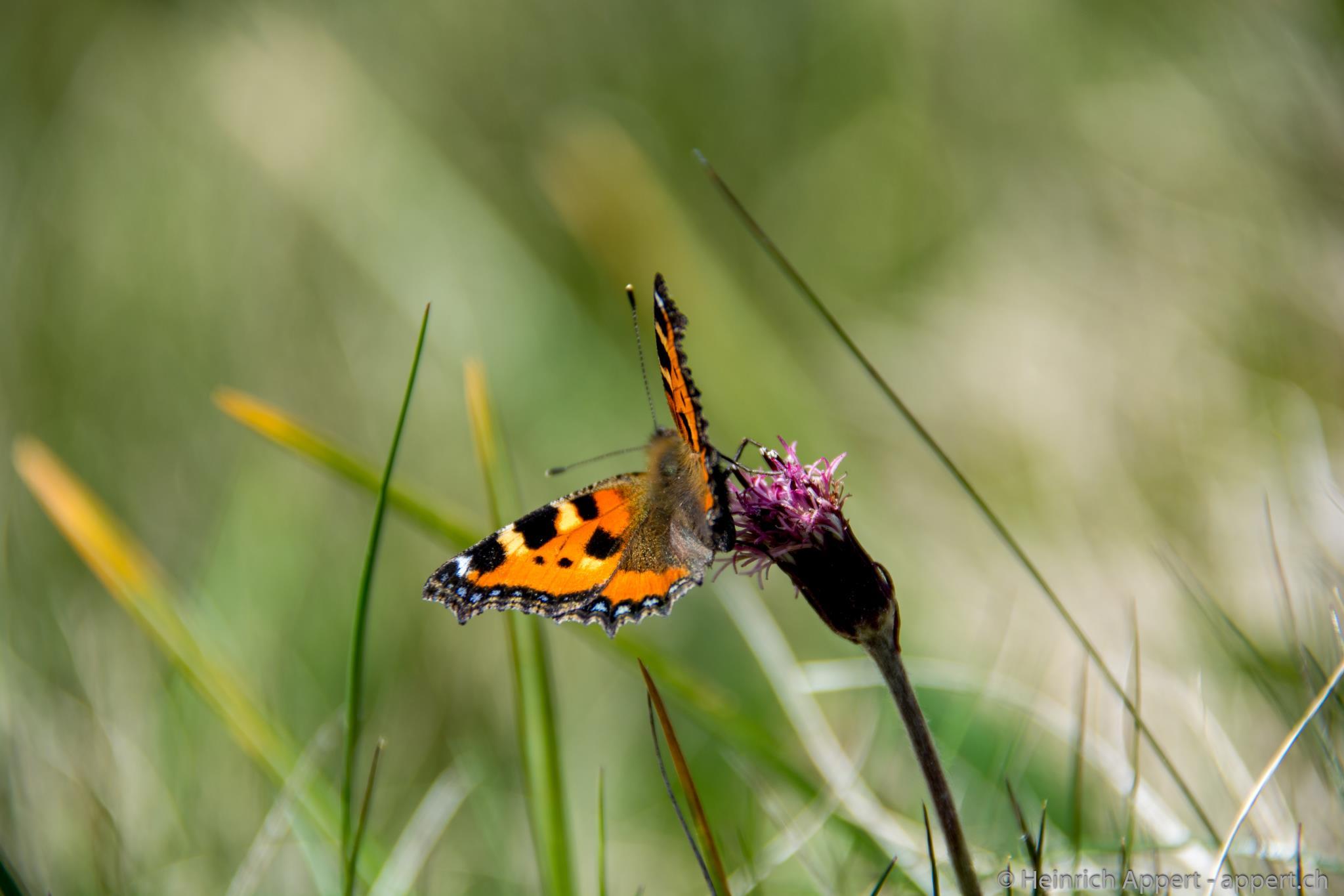 Grüner Alpenlattich mit Schmetterling, der kleine Fuchs