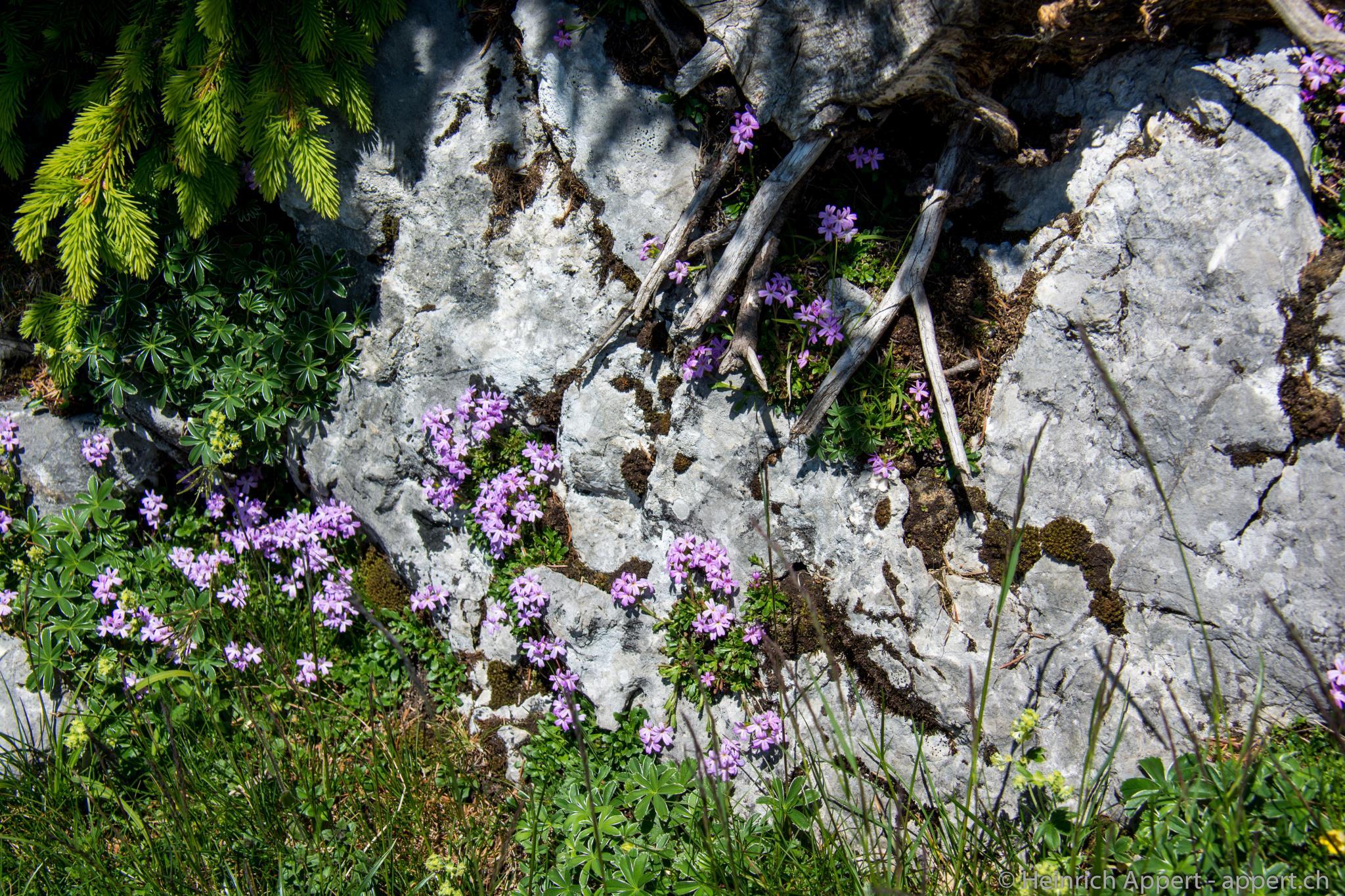 Alpenbalsam am Felsenhang