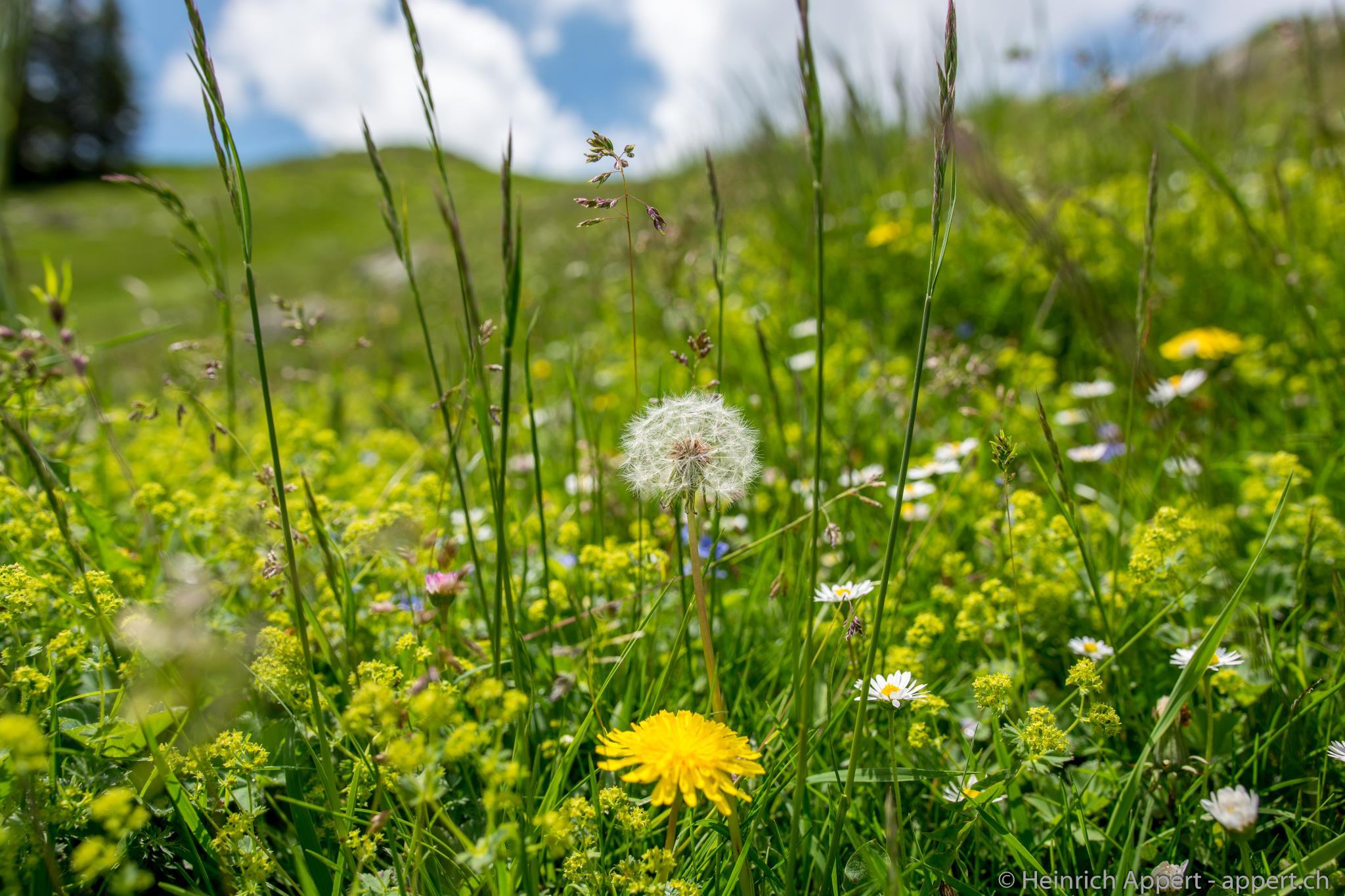 Gesunde Alpenwiese